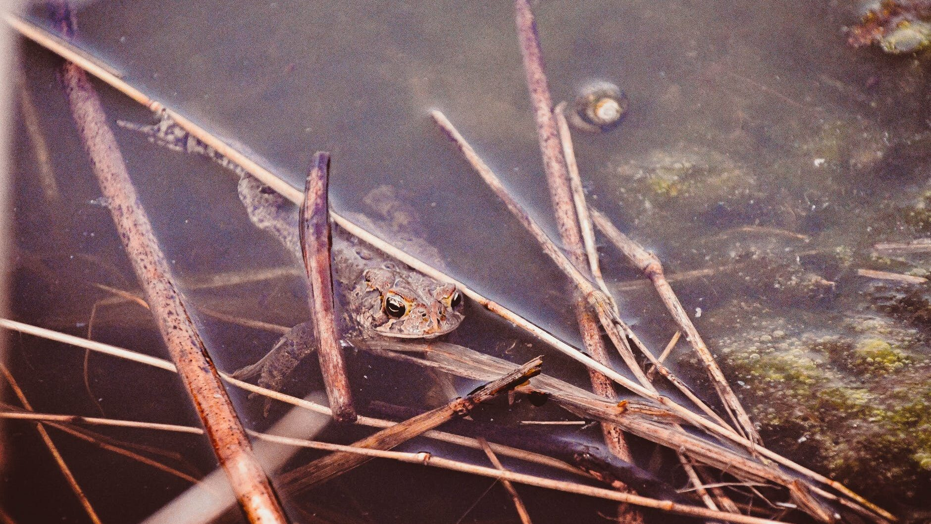 frog on twigs under swamp water